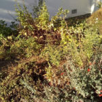 South bed bee plant before pruning